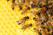 ミツバチで交配をするための基礎知識