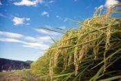 私が秋田県で米を作らない3つの理由