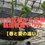 メロンの定植から定植後の栽培管理のやり方【春と夏の違い】